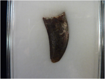 Carcharadontosaur Tooth For Sale