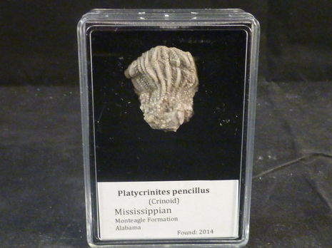 Pencillus Crinoids fossils for sale