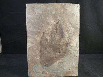 Dinosaur Track fossil for sale