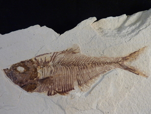 Fossil fish for sale