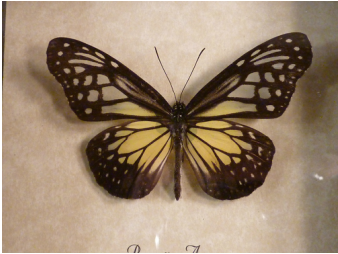 Framed Butterflies For Sale at Fossil Shack