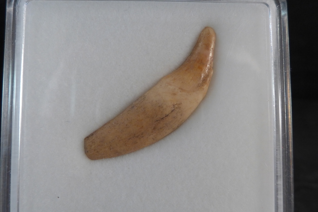 Fossil Wolf Tooth