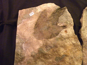 dinosaur track fossils for sale