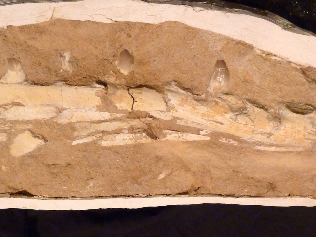mosasaur jaw for sale