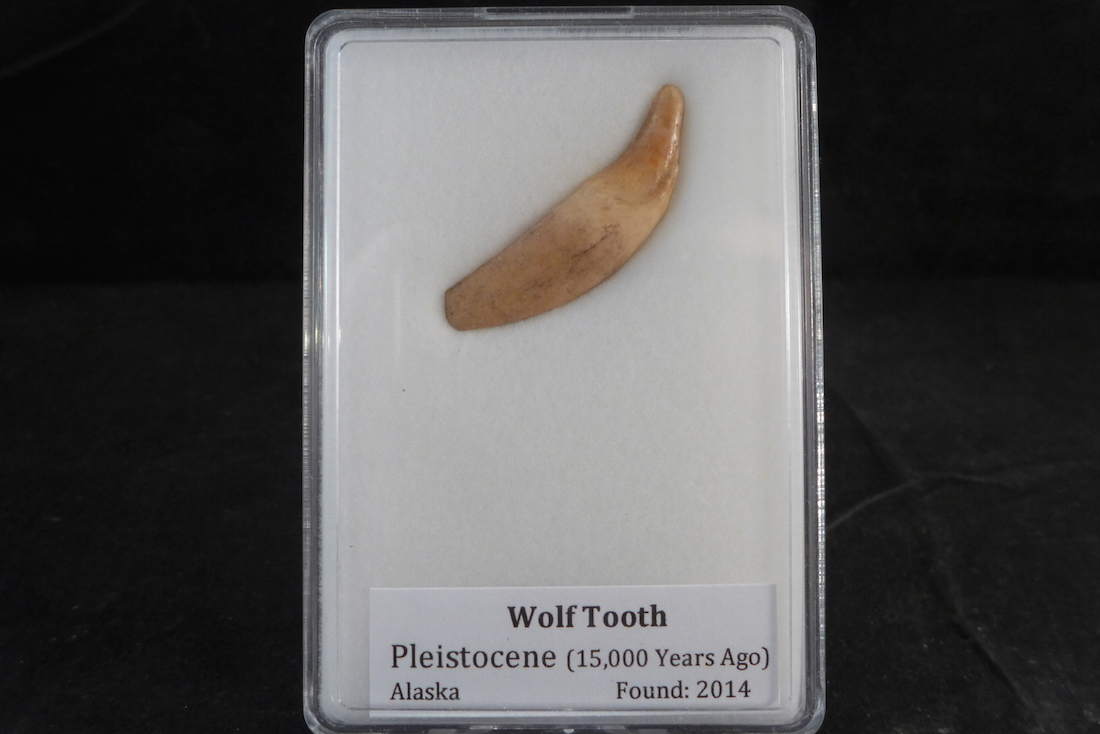 Wolf teeth for sale