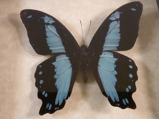 African Butterflies For Sale