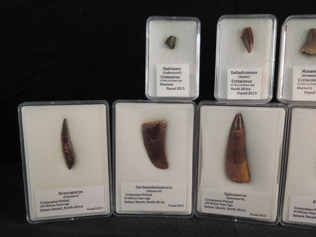 fossil dinosaur teeth for sale