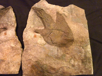fossil dinosaur track for sale