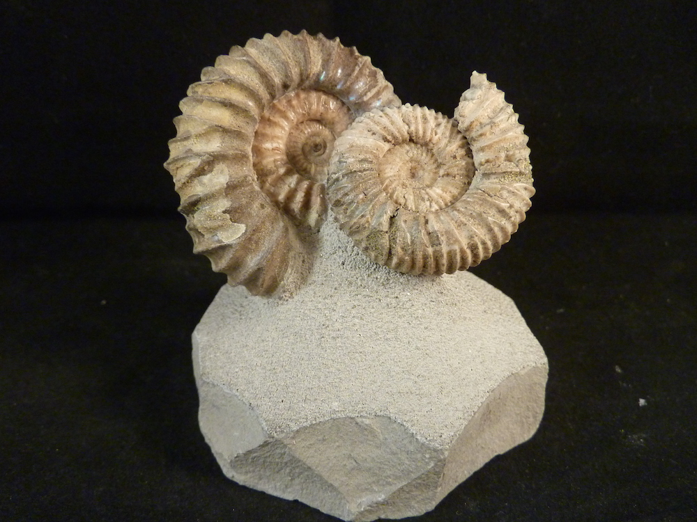 Selling Ammonite Fossils