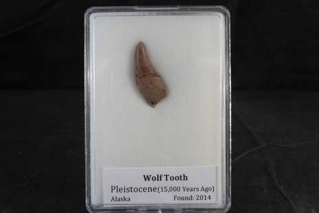 Fossil Wolf Tooth for sale