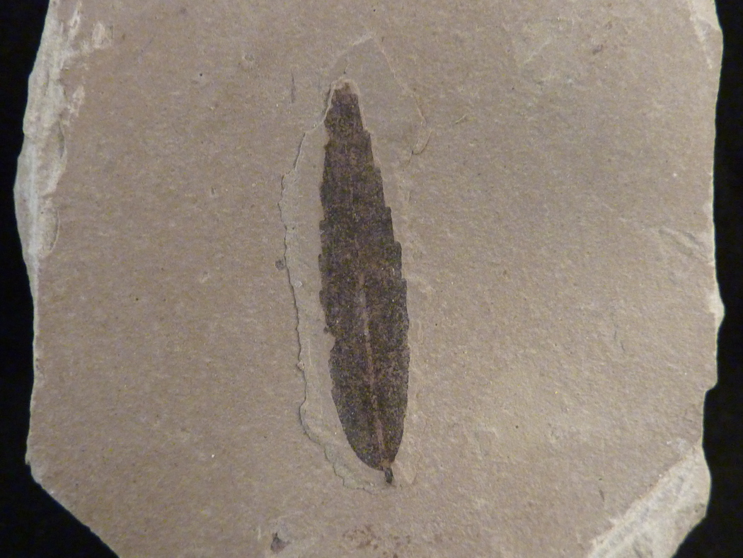 leaf fossil for sale