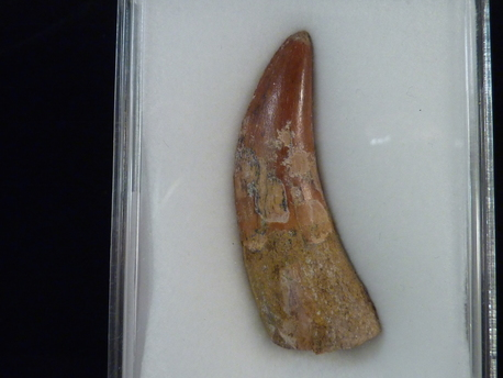 Carcharodontosaurus (African T-Rex) Tooth for sale