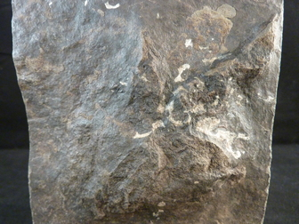 fossil dinosaur tracks for sale