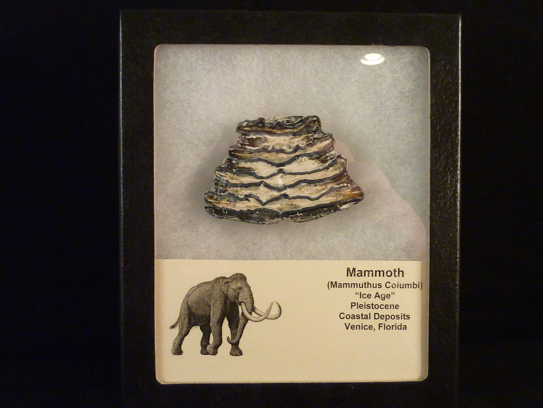 mammoth teeth for sale