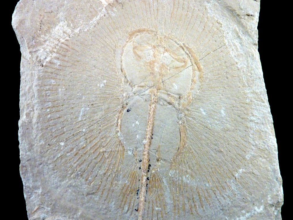 Cyclobatis major stingray fossil for sale