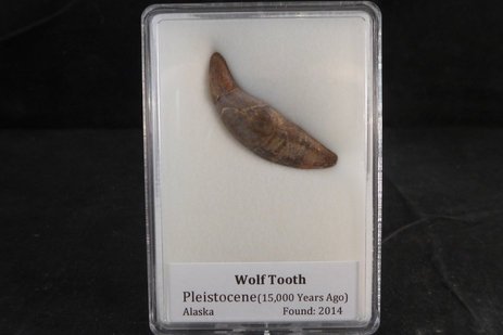 ancient wolf tooth