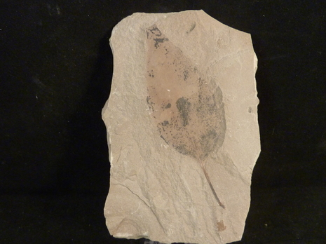 fossil leaf for sale