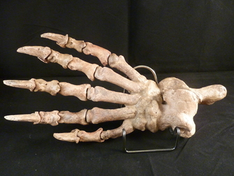 Huge Complete Cave Bear Paw