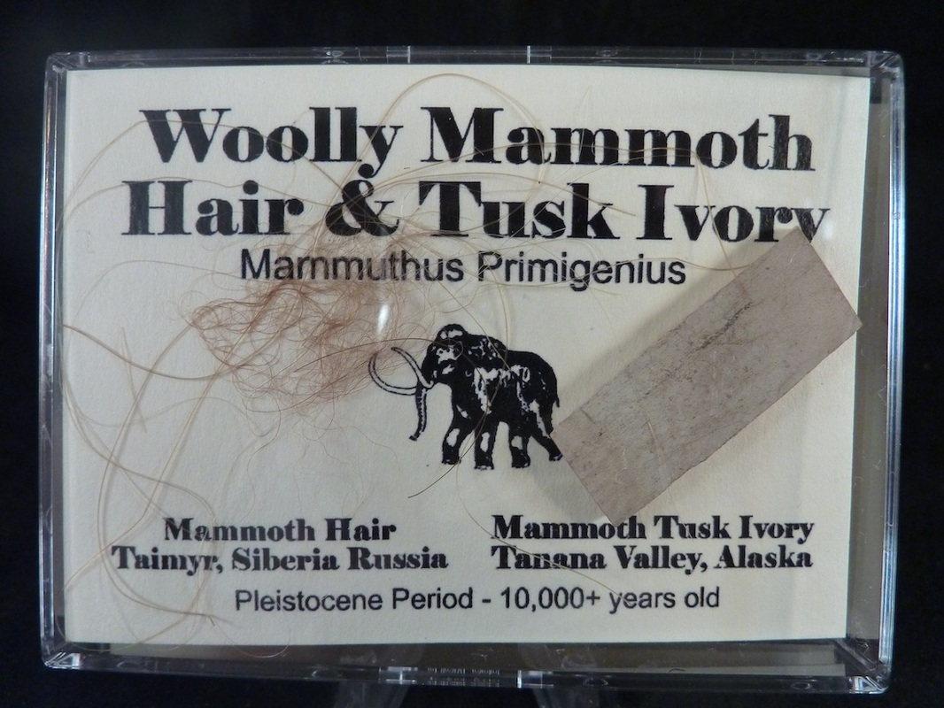 mammoth tusk and hair for sale