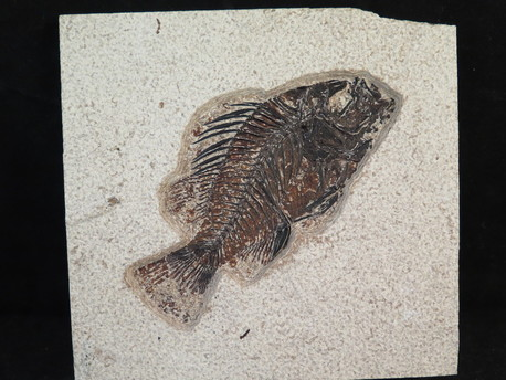 Priscacara Liops fossil fish for sale