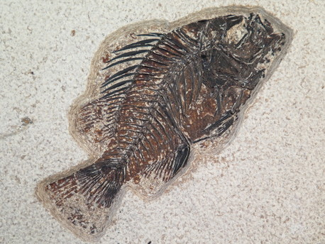fossil priscacara fish for sale