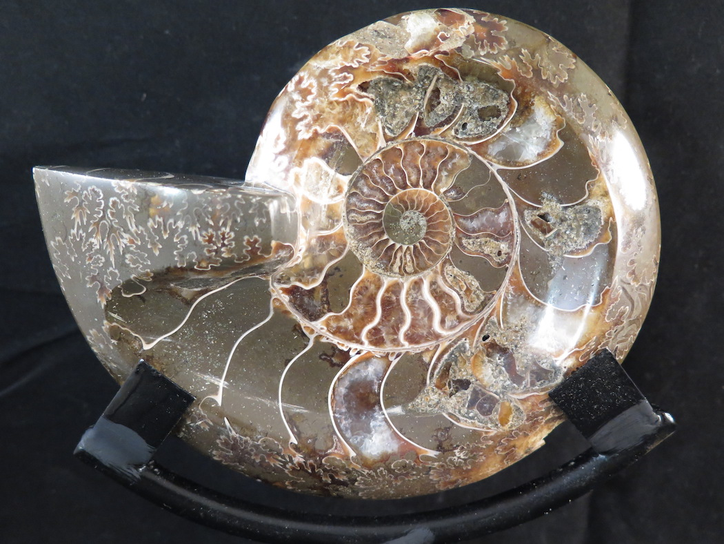 ammonite fossil for sale