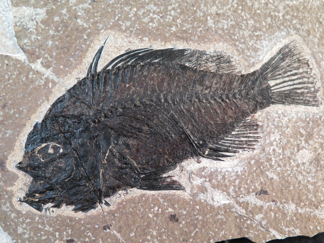 priscacara liops fossil fish