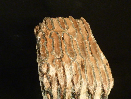 fossil mammoth tooth for sale